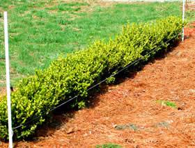 Le siepi giardino3g giardinaggio giardiniere for Bosso siepe