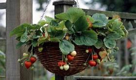 Coltivare fragole in vaso giardino3g giardinaggio for Fragole in vaso