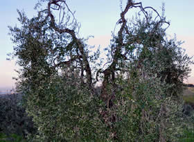 Potatura dell olivo giardino3g giardinaggio giardiniere for Potatura pesco